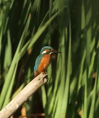 against the reeds (westoncfoto) Tags: kiveton