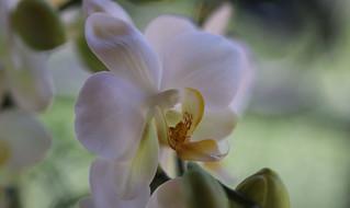 Douceur d'orchidée