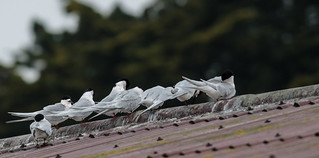 20170922_6140_7D2-400 Roosting on Roof