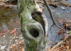 Yin-Yang in nature (Hank Rogers) Tags: pa pennsylvania wyomingvalley nature natural tree trees foliage yinyang symbol swirl design stream creek brook leaves wood wooden trunk balance hole autumn fall brown energy flow flowing spin spinning green moss mossy water forest woods seed force forces circle philosophy human being ego