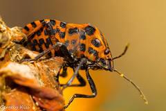 Graphosoma lineatum(csíkos poloska). (Gergely_Kiss) Tags: macrophotography insectmacro insect csíkospoloska bugmacro bug graphosomalineatum