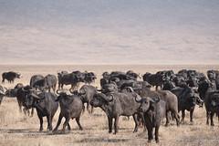 20170918 - Tanzania (1137 von 1444).jpg (Jan Balgemann) Tags: big five bigfive tanzania afrika animals serengeti wildlife