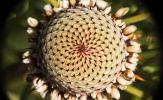 Fibonacci in an isopogon