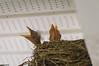call for assistance. (NickPensaPhotography) Tags: bird birds nature nest babybirds birdsnest frontporch frontporchbirds wildlife instagramapp squareformat art nikon travel square photography