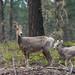 Bighorn sheep - mouflon canadien day5 (Mc Lie) Tags: mouflon canada bighorn sauvage wilde colombiebritanique britishcolumbia nikon d7200