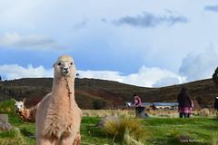 Paquita la alpaca (whoisbejarano) Tags: alpaca aficionado peru travel amazing cute green siyustani puno traditional nikon nikond3200 colombianpic