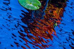 ... rising star (mariola aga) Tags: chicagobotanicgarden glencoe summer garden pond water surface waterlily bud leaf reflection abstract art