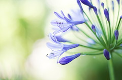 Agapanthus (Stefano Rugolo) Tags: pentax k5 smcpentaxm50mmf17 bokeh purple light green garden 2015 summer agapanthus flower lazio italy stefanorugolo