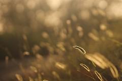 Lungo la strada. (SimonaPolp) Tags: sunset sun light wheat nature august summer hot bokeh sunlight peace gold
