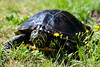 Decaze040 (Bobby's Road Photography) Tags: animaux animal tortue turtle tortuga chelonian proxy macro green wild outdoor florida reptile carapace head fujifilm xt2 90mm nature