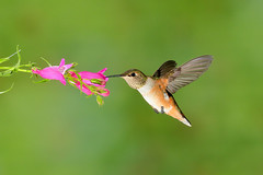 Rufous Hummingbird (2713) (Bob Walker (NM)) Tags: bird photosetup hummingbird rufoushummingbird selasphorusrufus ruhu multiflash whiterock newmexico usa