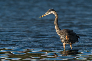 Great Blue - Hunting