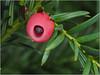 P8160064 Frucht der Eibe (makro10nh) Tags: gefäspflanzen tracheophyta samenpflanzen spermatophytina coniferopsida koniferen coniferales eibengewächse taxaceae eibe taxusbaccata englishyew greatphotographers naturemasterclass