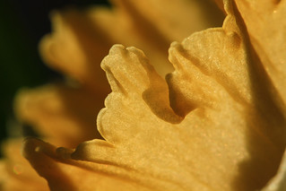 ..daffodil of light..