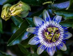 fleurs (touflou) Tags: fleurs flowers campagne couleurs blue bleu