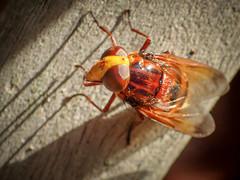 Volucella zonaria (f) (mickmassie) Tags: diptera gardentq209783 insecta syrphidae volucella