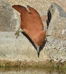 Casaca-de-couro (Pseudoseisura cristata)