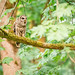 Barred Owl Calling | August 2017