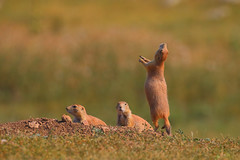Prairie dog family - Custer State Park, South Dakota (superpugger) Tags: prairie prairiedog prairiedogs mammals animals rodents wildlife custerstatepark blackhills southdakota southdakotawildlife mammal nature naturephotography wildlifephotography rodent animal lpugliares lawrencepugliares