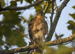 Sparrow Hawk - Penny for your thoughts (Ann and Chris) Tags: avian amazing hawk sparrow sparrowhawk outdoors predator raptor stunning