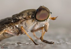 Horsefly (torqueabhi) Tags: monsoon outdoor flash extensiontubes d5300 tamron nikon sting creatures bugs insects yourshotphotographer macroshot brown colors eyes tiny nature water droplets closeup macro fly horsefly