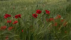 papaveri (paola.bottoni) Tags: papaveri fiori