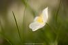 Buschwindröschen (fran.fotographix) Tags: blumen buschwindröschen frühling frühlingsblume frühlingsboten grün weiss