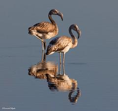 E ainda.... Flamingos (Fernando Delgado) Tags: phoenicopterusroseus juvenile juvenil quintadolago flamingo birds birdwatching aves parquenaturaldariaformosa faro algarve portugal waterbirds birdlovers morninglight