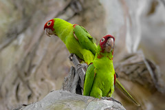 The Wild Parrots of San Francisco (opheliosnaps) Tags: wild nature outdoors parakeet parrot san francisco green red bright perched summer fort mason bird tropical jungle colorful vibrant pair love eucalyptus animal