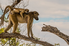 Yellow Baboon on the Move (donnatopham) Tags: baboon campxanakaxa botswana