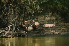 Lazy summer afternoon (Inka56) Tags: 7dwf pigs river danube animalplanet