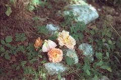 Flowers - цвијеће (brouillard23) Tags: florile fleurs flowers serbia srbija virág flores visoka banja visočka zlatibor argentique analog mamiya 528 528tl porst autoflex tl цвијеће cbijeće