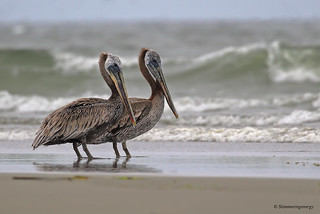 Brown Pelicans on the Pacific Coast