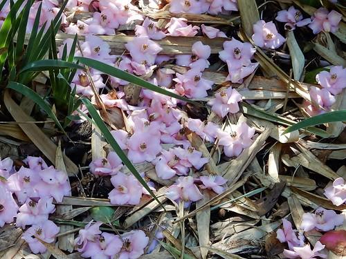 Fallen Pink Petals
