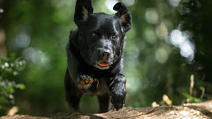 Mid Afternoon Launch. (Marcus Legg) Tags: marcuslegg max black labrador retriever blacklabradorretriever jumping joy dog pet animal action forest woods woodland green bokeh shiny canon ef70200mmf28lisii eos 1dx flying fur natural outside outdoors eyes dogs fun jumps play