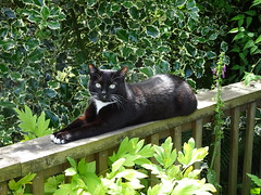 Garden Cat (knightbefore_99) Tags: cat chat kitty gato garden green friendly city eastvan bc vancouver furry feline cute pretty black white eyes