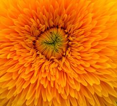 Gefüllte Sonnenblume (berndtolksdorf1) Tags: blume flower pflanze plant blossom blüte outdoor garten