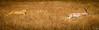 Lionness hunting a Grant's gazelle, Ngorongoro Crater, Tanzania / Lionne chassant une gazelle de Grant, Cratère du Ngorongoro, Tanzanie (jaybles_69) Tags: afrique ngorongoro tanzanie africa tanzania lion gazelle animaux animals safari wildlife nikon tamron nikonnaturephotography naturemasterclass fantasticwildlife mammal mammifère predator prey twop