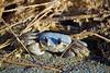 A little crabby in the morning (Brennen Tamerlano) Tags: brennentamerlano nature scenic straw sand closeup macrodreams macro beach crab