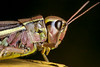Facepalm - _TNY_2992 (Calle Söderberg) Tags: macro canon canon5dmkii canoneos5dmarkii flash meike mk300 glassdiffusor blackbackground yellow pink facepalm shiny insect grasshopper locust mecostethus grossus largemarshgrasshopper stethophyma grossum caelifera markgräshoppa acrididae locustinae duh hair profile side canonef100mmf28usmmacro f22