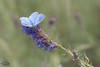 Argus bleu sur Hysope (mirage 31) Tags: hautegaronne argusbleu papillon