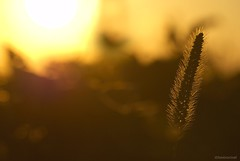 Big ol' sun.... (Joe Hengel) Tags: field sunset sun sunglare evening eveninglight eveningskies watchingthesunset outside outdoor outdoors ephrata ephratapa pa pennsylvania farm weeds plant silhouette silhouettes bigolsun