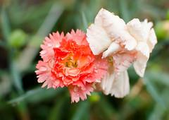 Flower Dove (kayleeacres) Tags: flower plant bloom annual macro detail imperfect pink orange green color rain raindrop garden flora
