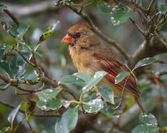 Cardinal in the Trees (Karol A Olson) Tags: bird birdfeeder backyard sep17 cardinal