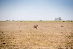 DSC_0099 (stacyjohnmack) Tags: africa kenya amboseli amboselinationalpark amboselli baboon elephant safari