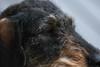 ChiliChills (Kenneth Gerlach) Tags: dachshund dog gravhund hund miniature råhåret haslev regionzealand denmark dk