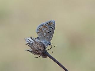 turkooisblauwtje (Polyommatus dorylas)