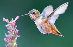 Dinner Time (Life of David) Tags: california selasphorussasin usa wildlife allenshummingbird backyard beautiful beauty bird hummingbird nature 5dmarkiv canon5dmarkiv canon5div summer vogel oiseau uccello pájaro pássaro world100f