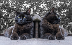 Lillie and her sister (pwendeler) Tags: chat gato gatonero gatonegro blackcat schwarzekatze katze lillie sony photoshop twin animal tier haustier pet gorgeous interesting perfect color awesome summer cat black moggy