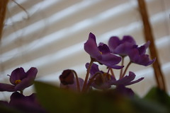 African Violet In The Window. (dccradio) Tags: lumberton nc northcarolina robesoncounty inside indoors twine balingtwine hangingplant violet lavender plant africanviolet leaves leaf foliage flower floral flowers blossom bloom nikon d40 dslr